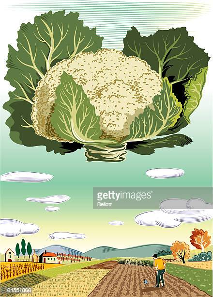 agricultural landscape with cauliflower