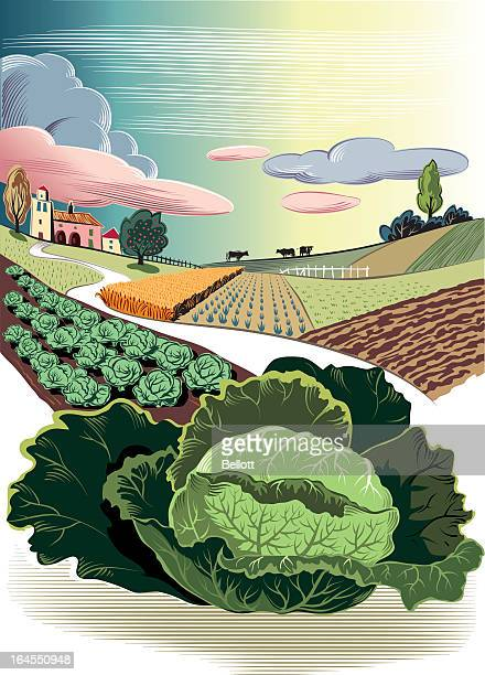agricultural landscape with savoy cabbage - white cabbage stock illustrations, clip art, cartoons, & icons