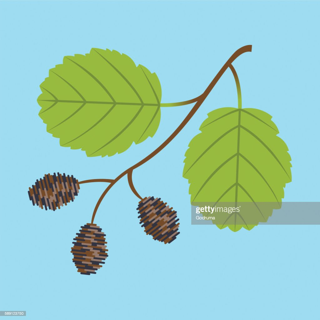 Alder twig with branch leaves and cones