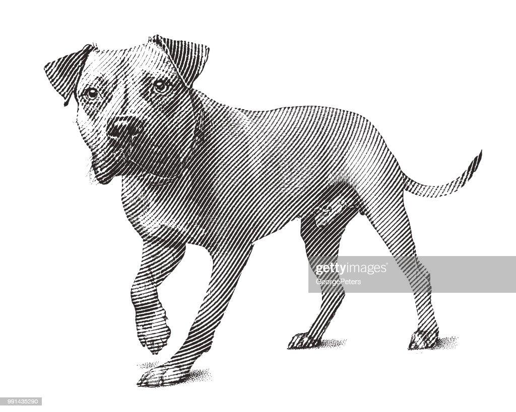 Alert Pit Bull Terrier dog walking