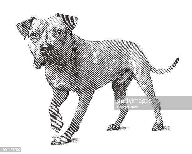 ilustraciones, imágenes clip art, dibujos animados e iconos de stock de alerta perro pit bull terrier a pie - pit bull terrier