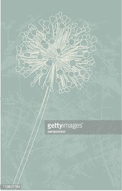 Flor de alho em fase de
