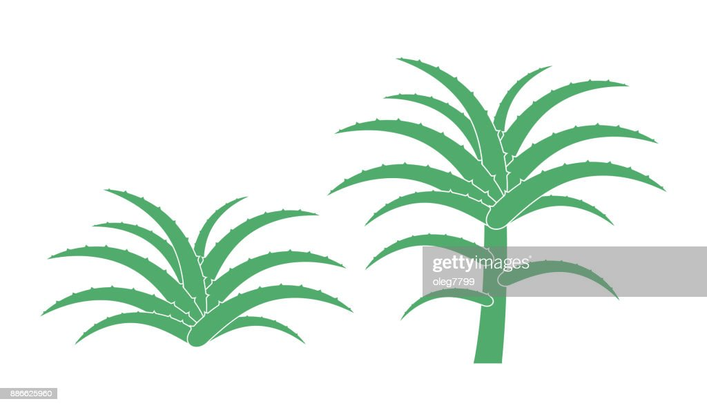 Aloe plant. Isolated  aloe on white background