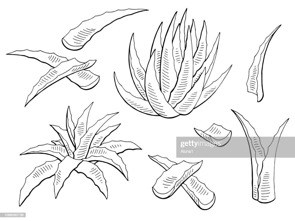Aloe vera graphic black white isolated plant illustration vector