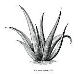 Aloe vera hand draw vintage botanical clip art isolated on white background