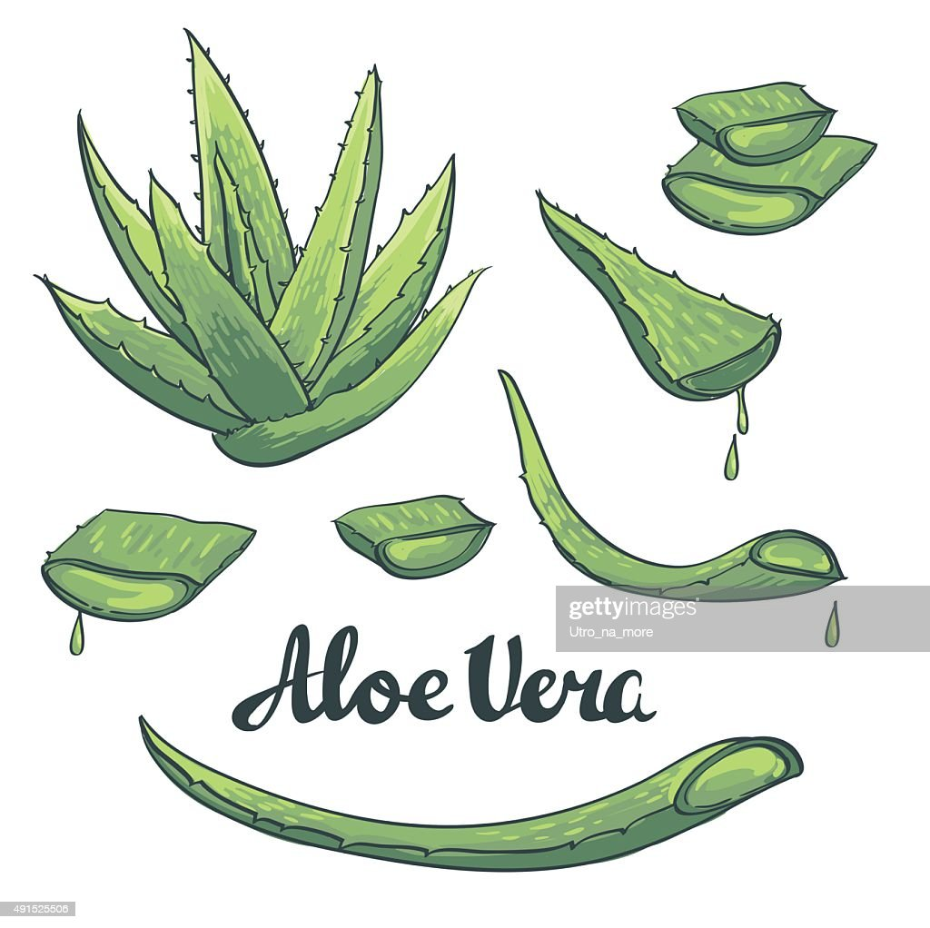 Aloe vera hand drawn set. Vector illustration