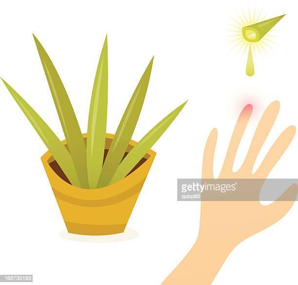 L'Aloe Vera, plante Miracle