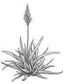 Aloe vera plant illustration, drawing, engraving, ink, line art, vector