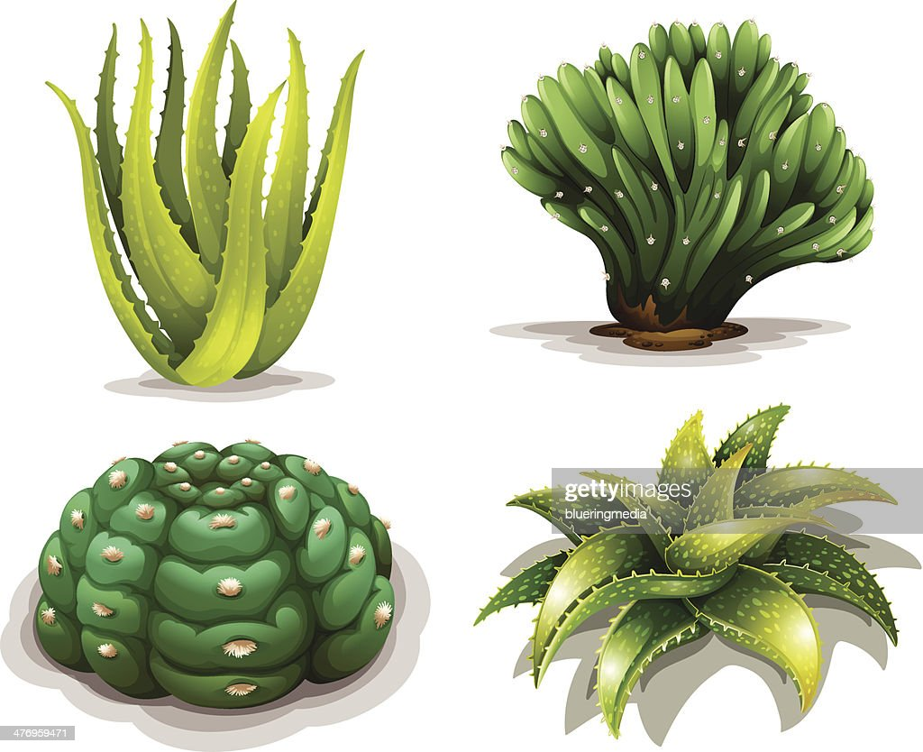 Aloe vera plants and cacti