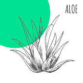 Aloe Vera vector sketch botanical herb for aloe moisturizer or herbal cosmetic and medicine package
