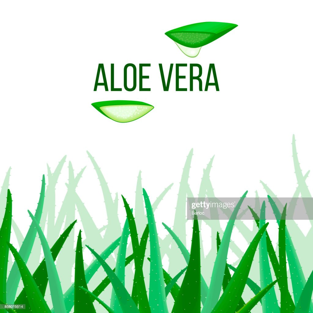 Aloe Vera vector. slices and Plant. Aloe barbadensis Mill, Star cactus, Aloe, Aloin, Jafferabad or Barbados