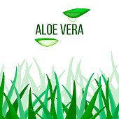 Aloe Vera vector. slices and Plant. Aloe barbadensis Mill, Star cactus, Aloe, Aloin, Jafferabad or Barbados
