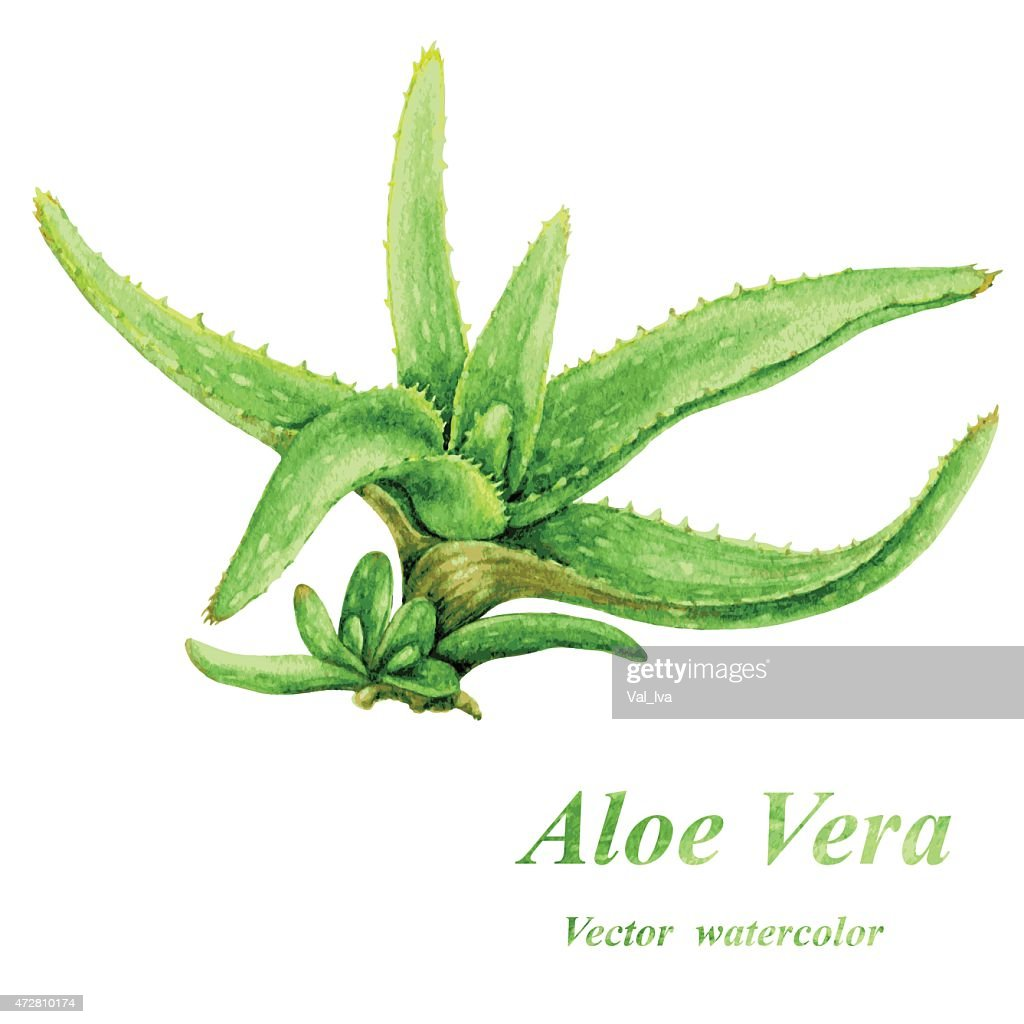 Aloe Vera vector watercolor illustration on white