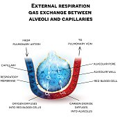 Alveoli anatomy, respiration