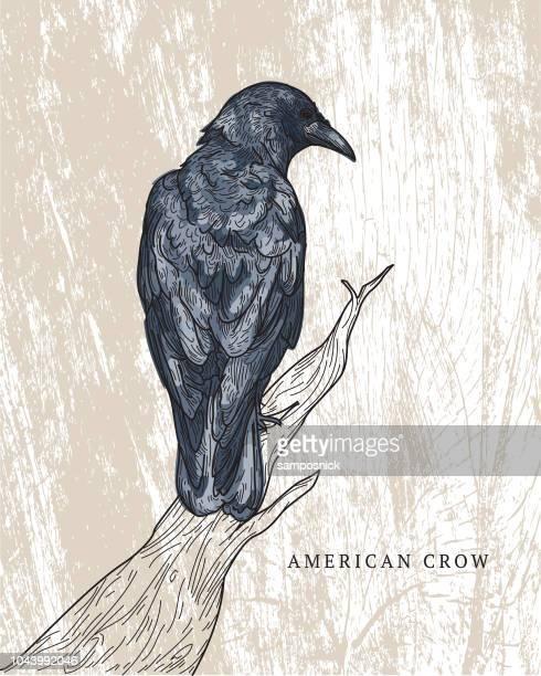 american crow - crow bird stock illustrations