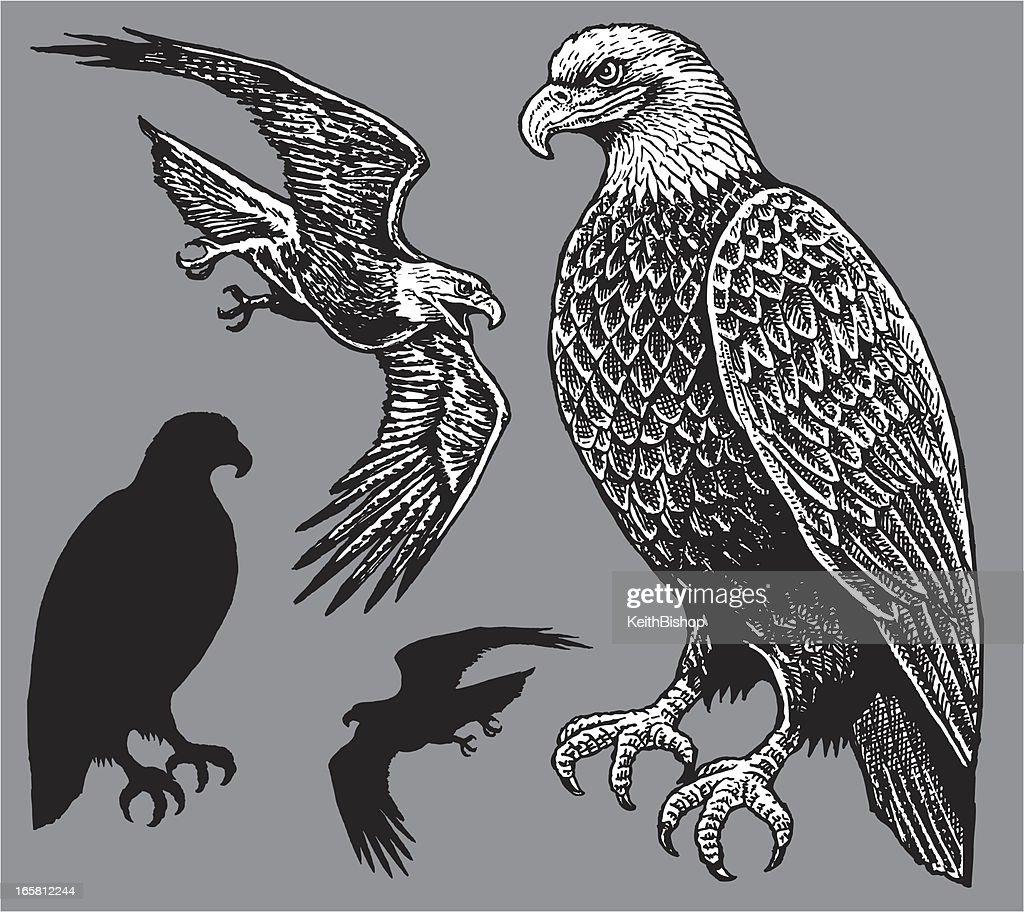 American Eagle - Bird