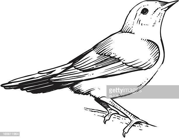 an illustration of a warbler bird - warbler stock illustrations