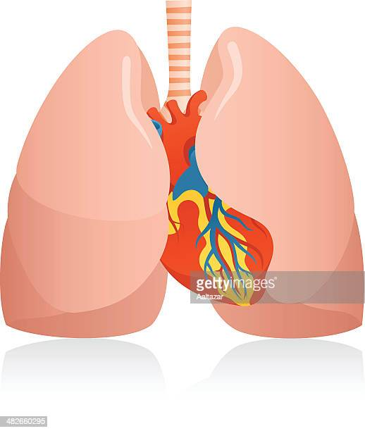 anatomic human lungs & heart - human lung stock illustrations, clip art, cartoons, & icons