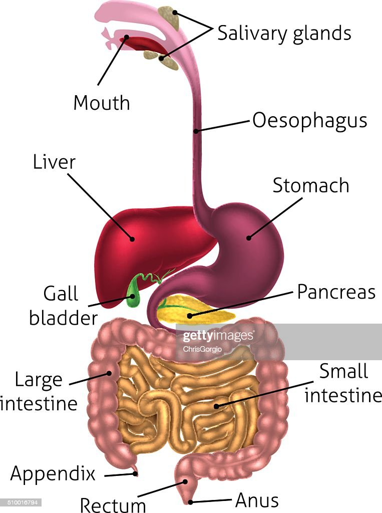 Anatomical Diagram Digestive Tract Vector Art Getty Images
