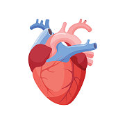 Anatomical Heart Isolated. Muscular Organ in Human