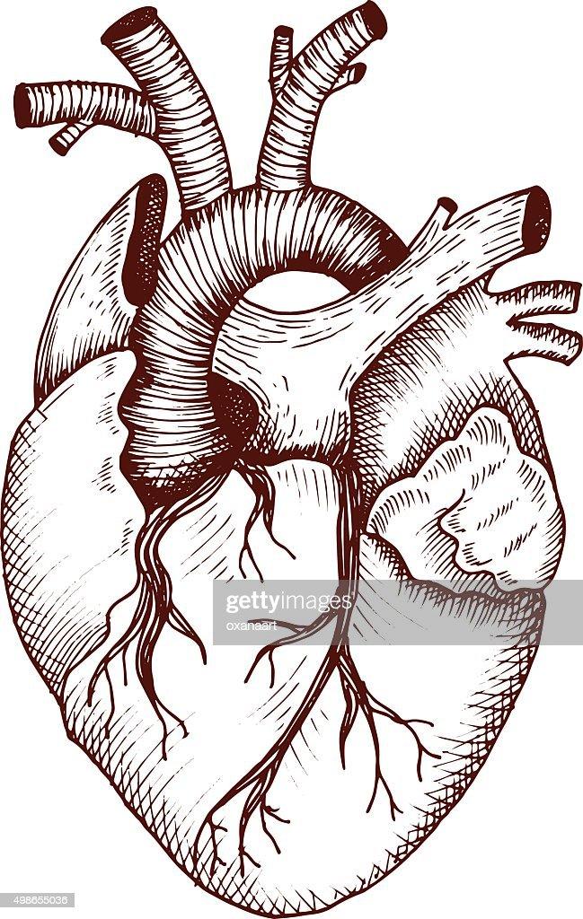 Anatomical heart - vector vintage style detailed illustration