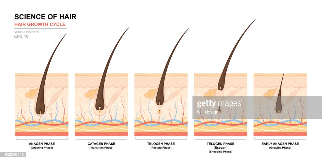 Anatomical training poster. Hair growth phase step by step. Stages of the hair growth cycle. Anagen, telogen, catagen. Skin anatomy. Cross section of the skin layers. Medical vector illustration