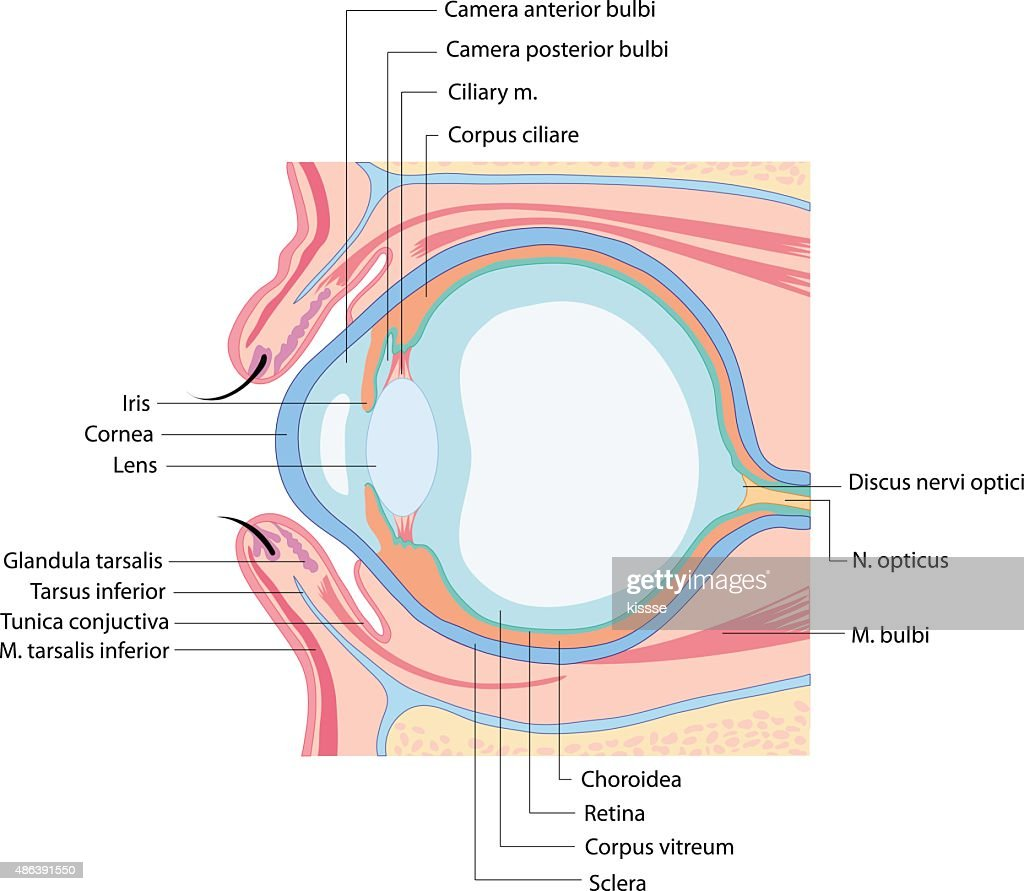 Anatomy Eye Vector Art | Getty Images