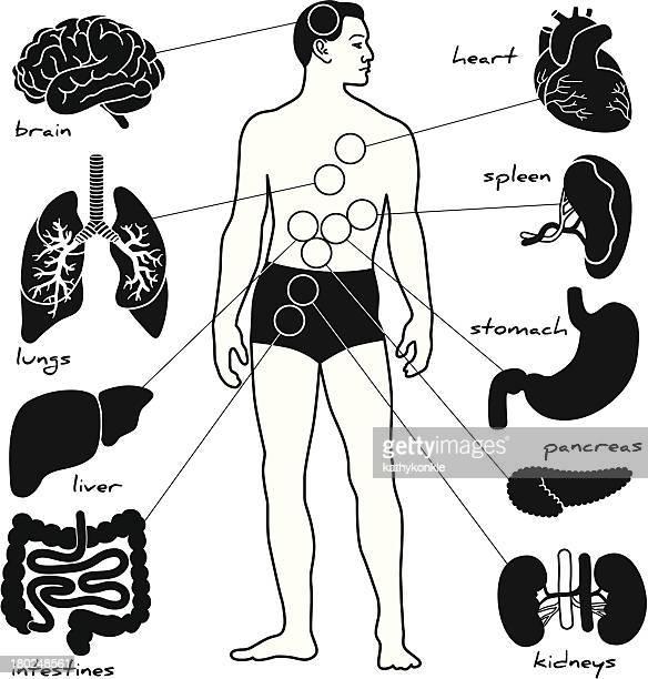anatomy lesson - human digestive system stock illustrations, clip art, cartoons, & icons