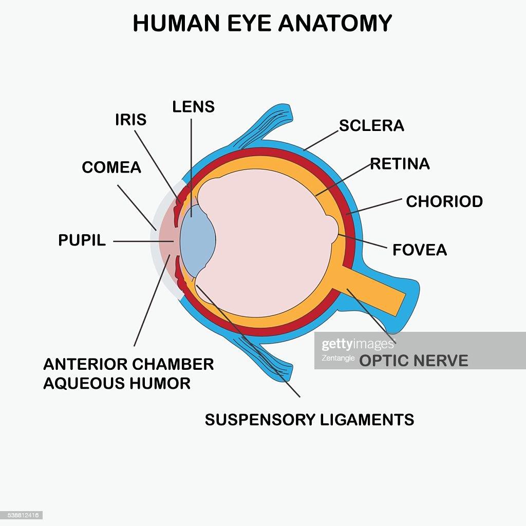 Anatomy of human eye.