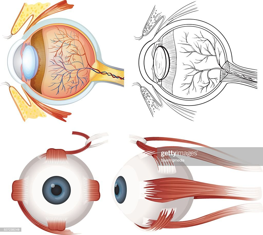 Anatomy Of The Eye Vector Art | Getty Images