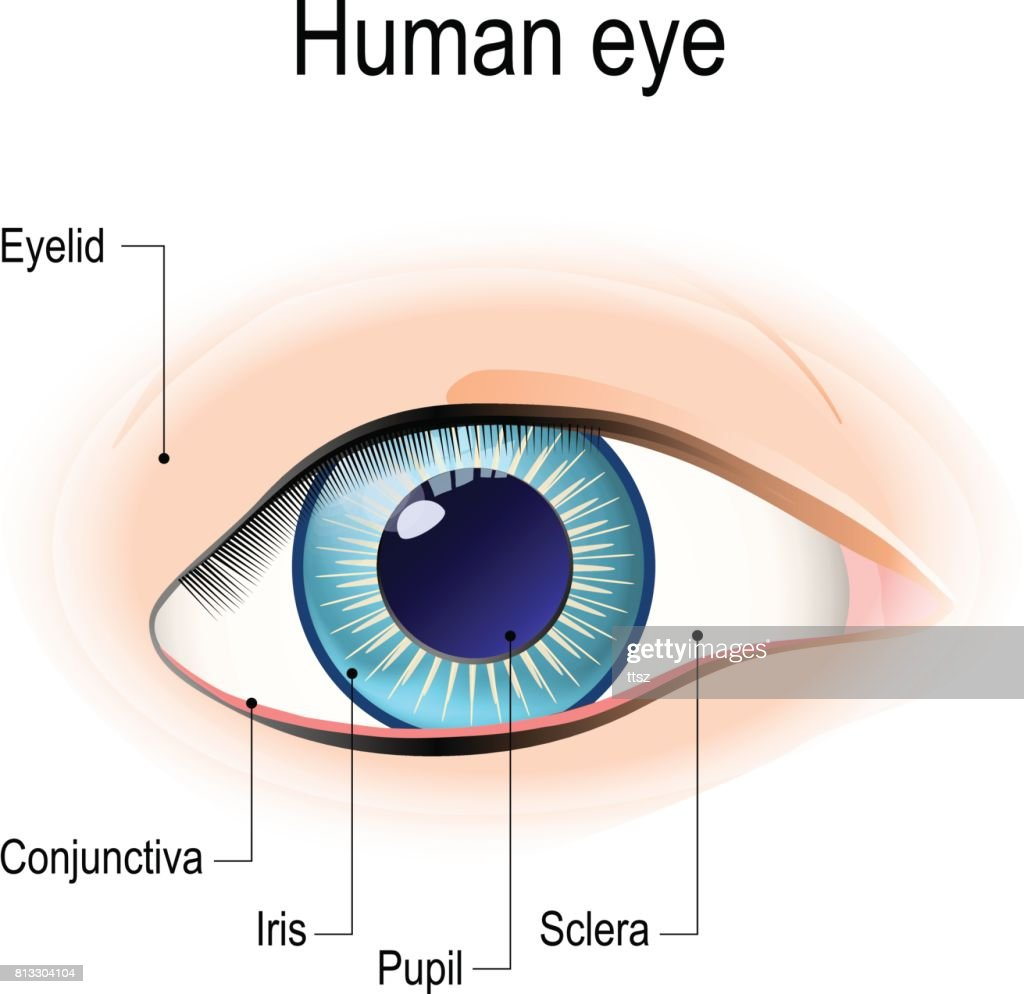 Anatomy Of The Human Eye In Front View Vector Art Getty Images