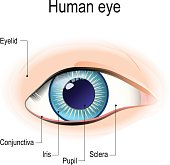Anatomy of the human eye in front view.