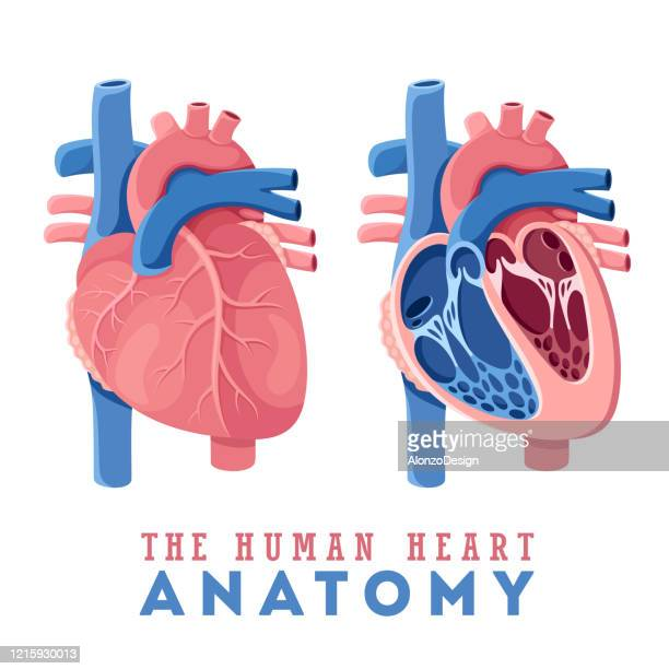 anatomy of the human heart - heart ventricle stock illustrations