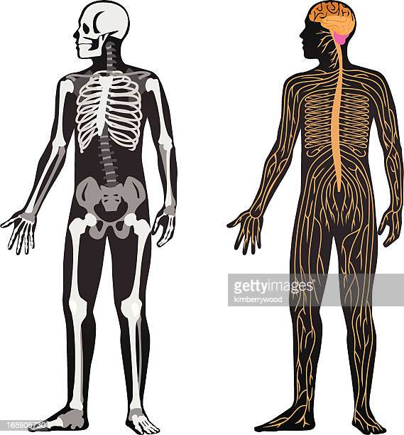 anatomy - human nervous system stock illustrations