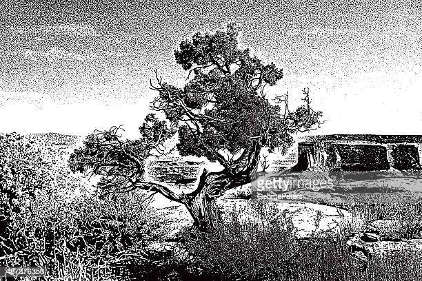 ancient cedar tree with mesa's and buttes - juniper tree stock illustrations