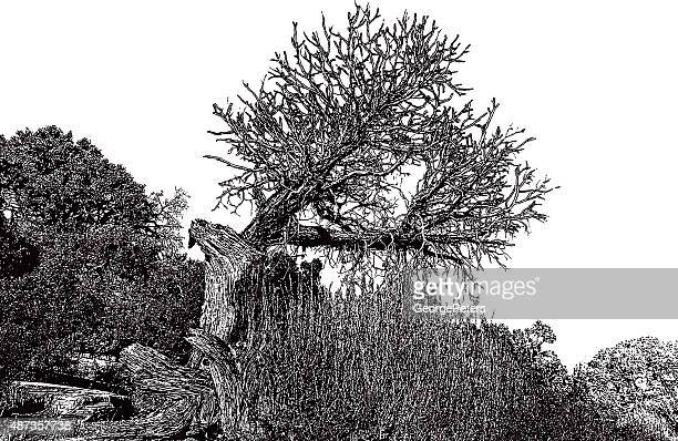 ancient juniper tree in the southwest usa - cedar tree stock illustrations, clip art, cartoons, & icons