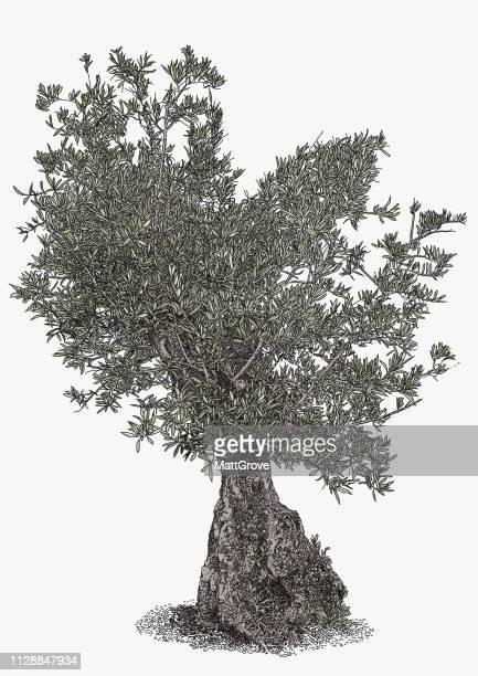 illustrations, cliparts, dessins animés et icônes de antique olive tree - olivier