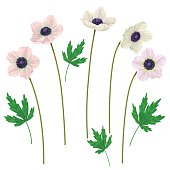 Anemone  flowers and leaves