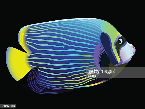 angelfish vector painting - angelfish stock illustrations, clip art, cartoons, & icons