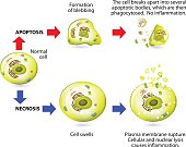 Apoptosis and necrosis. Difference.
