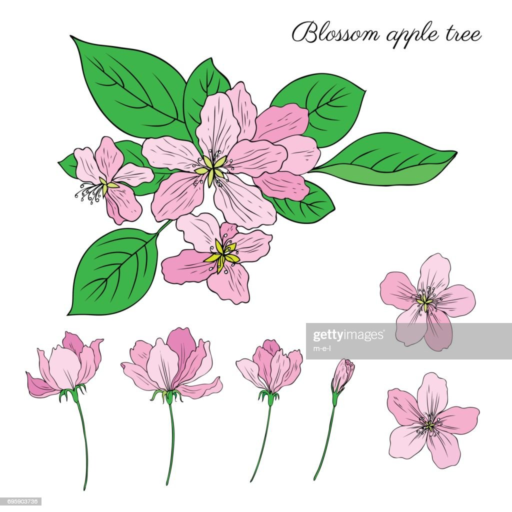 Apple tree blossom flower, bud, leaves, branch vector colorful botanical sketch hand drawn isolated on white, vintage romantic style for greeting card, package design cosmetic, wedding invitations