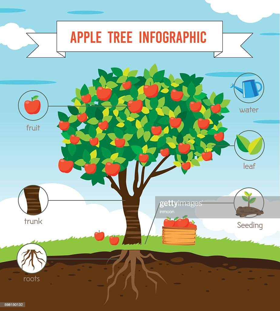 Apple tree infographic
