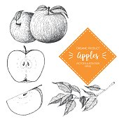Apple vector illustration. Hand-drawn design element. A fruit drawn in vintage style
