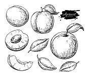 Apricot vector drawing. Hand drawn fruit and sliced pieces.  Summer food