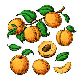 Apricot vector drawing set. Hand drawn fruit, branch and sliced pieces.