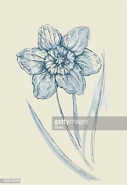 aquarelle narcissus - paperwhite narcissus stock illustrations, clip art, cartoons, & icons