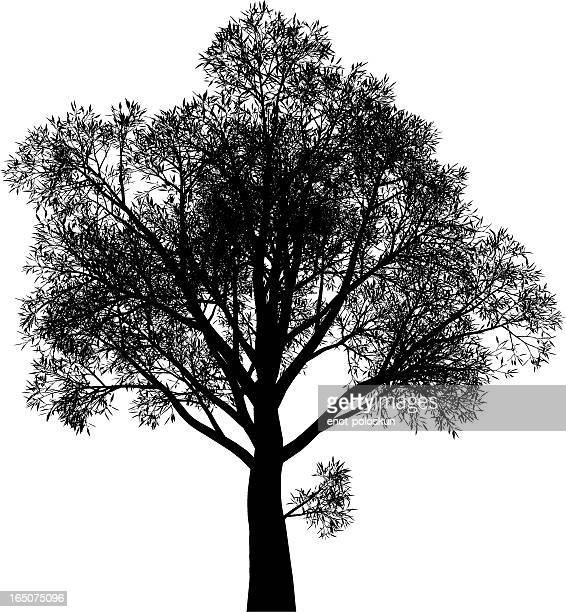 arbutus menziesii (strawberry tree