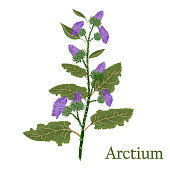 Arctium, burdock.Illustration of a plant in a vector with flower for use in botany.