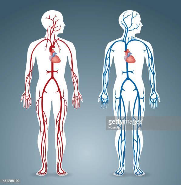 artery and vein - artery stock illustrations, clip art, cartoons, & icons