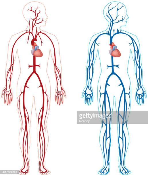 artery and vein - blood vessel stock illustrations, clip art, cartoons, & icons